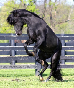 black_stallion_rearing_2_by_venomxbaby-d5b7uch
